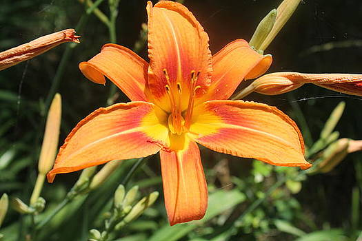 Day Lily Beauty by Lora Hall