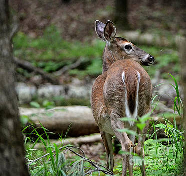 Deer Hearing Something by Eva Thomas