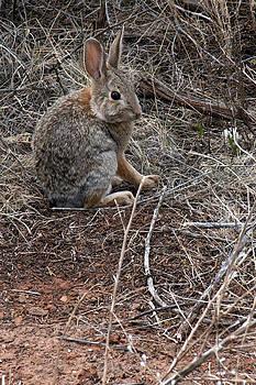 Desert Bunny by Sharon Sefton