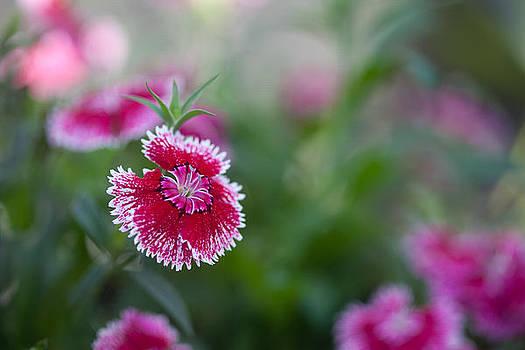 Dianthus by Bob Decker