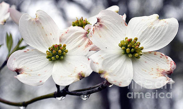 Dogwood Blossoms after a Rain by Eva Thomas