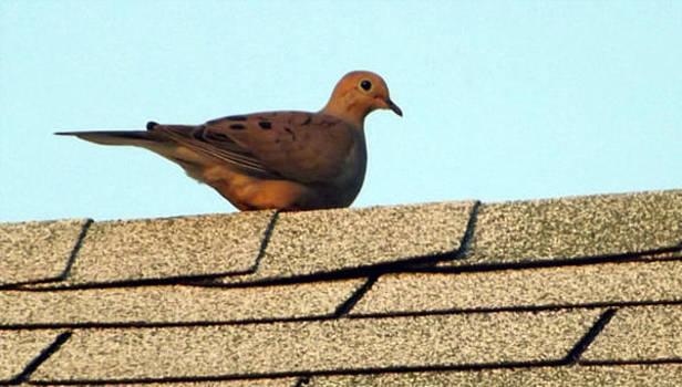 Dove on a Roof by Michael Sokalski