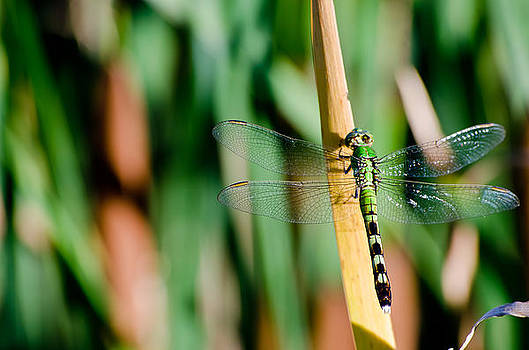 Dragonfly by Mindee Fredman