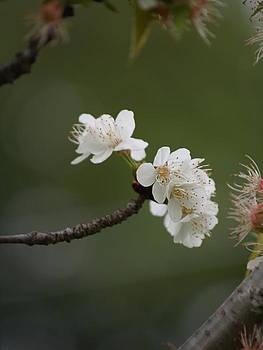 Dream Blossom by Kayla Craig