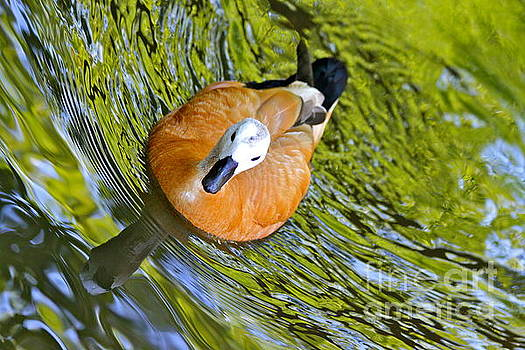 Duck In Water by Jay Nodianos