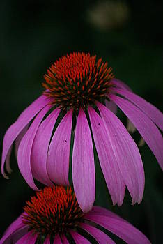 Echinacea in July by Lindy Whiton