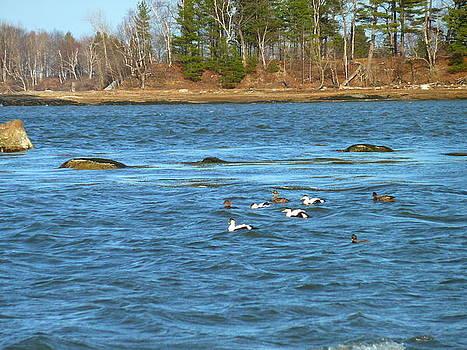 Eider Ducks by Merridy Jeffery