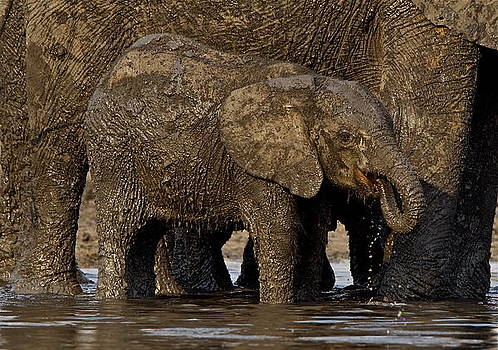 Elephant  calf enjoying a mud bath. by Bruce Colin