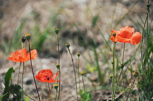 Field Poppies by Sharon Sefton