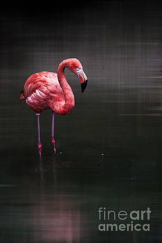 Flamingo  by Hannes Cmarits