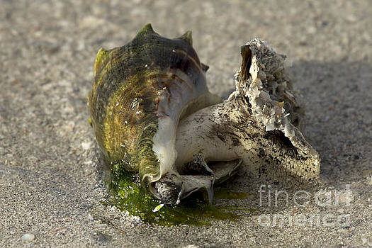 Florida Crown Conch by Meg Rousher