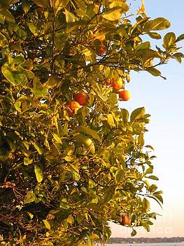 Florida Oranges by Joanne Askew