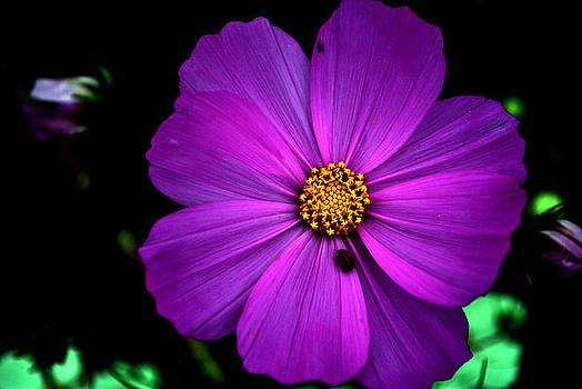 Flower Bug- Viator's Agonism by Vijinder Singh