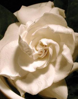 Gardenia by Randall Scherrer