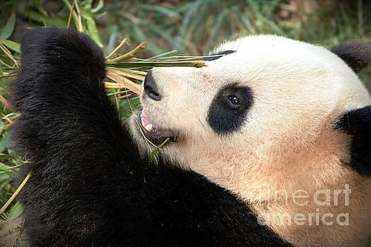 Giant Panda by David Gardener