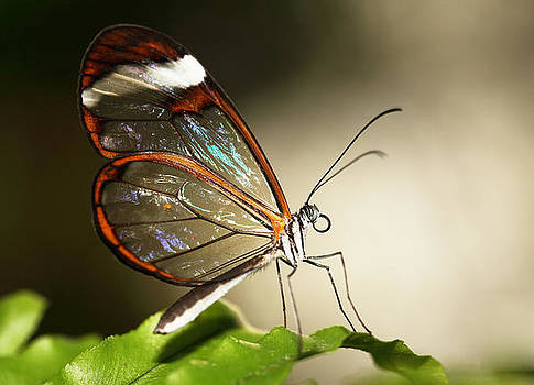 Glassed wing tropical Butterfly by Grant Glendinning