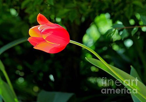 Glowing Tulip by Jay Nodianos