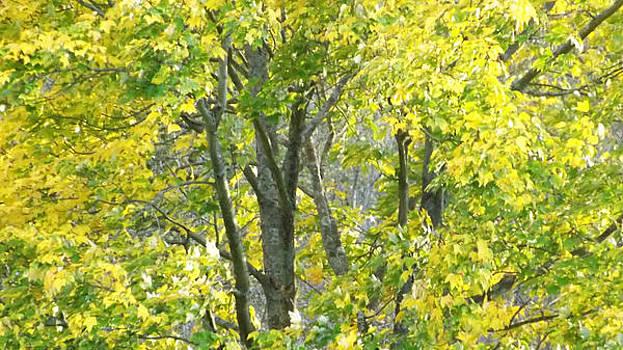 Golden Fall Leaves by Michael Sokalski