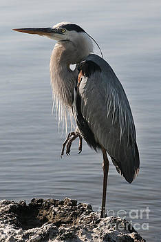Great Blue Heron by Lynn Jackson