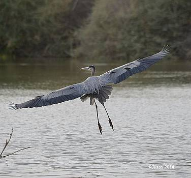 Great Blue in Flight 2 by Jill Baum