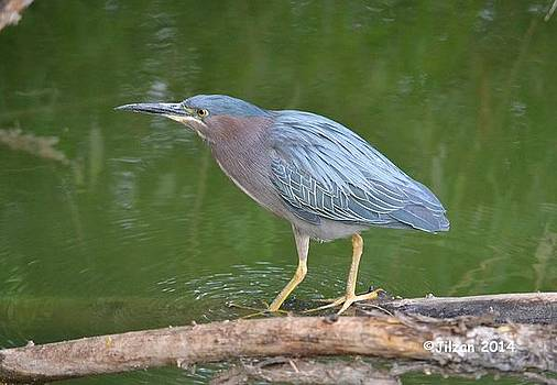 Green Heron 1 by Jill Baum