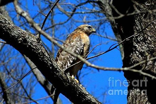 Hawk by Timothy Fleming