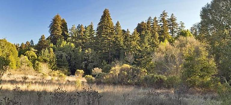 Henry Cowell Redwoods Panorama by Larry Darnell
