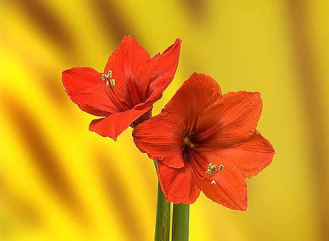 Hibiscus Red by Bob Mulligan