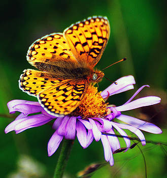 High Country Butterfly by Steve Barge