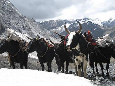 Himalayan Cow by Karma Gurung