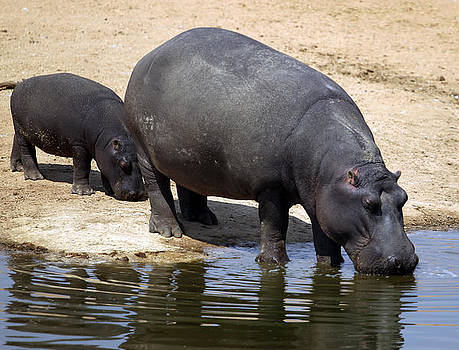 Hippopotamus and Calf by Gordon Donovan