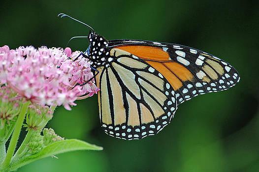Monarch Butterfly  by Carla Mason