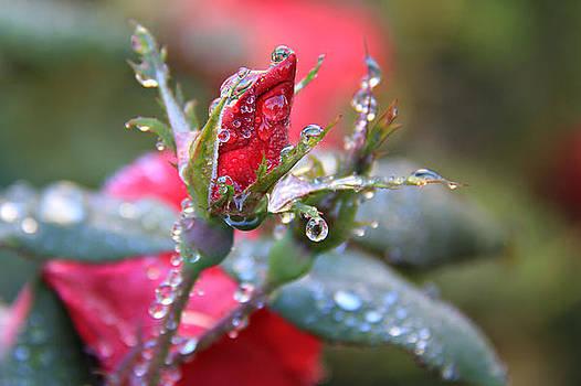 Ice Roses by Leslie Kirk