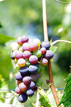 In my garden - grapes 4 by Giuseppe Ridino