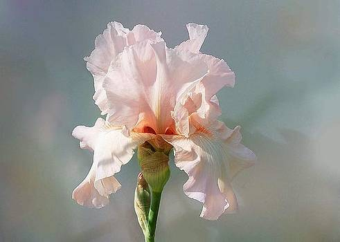 Iris in Pink by Ilona Stefan