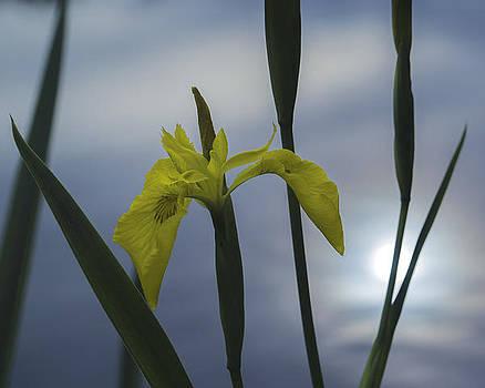 Iris pseudacorus by Evgeny Lutsko