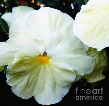 Ivory Colored Pansy by Eva Thomas