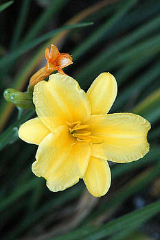 Late Summer Lily by James Hammen