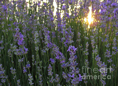 Lavender Close up with Sunlight by Kiril Stanchev
