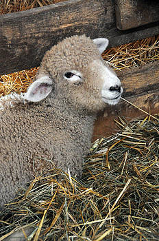 Laying in the Hay by Sharon Sefton