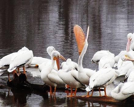 Lazy Pelicans by Edwin Newman