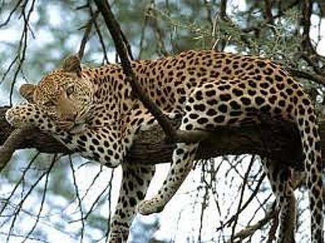 Leopard by Adalberto Vazquez Gomez