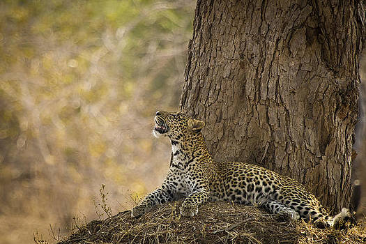 Leopard Gazing Up by Alison Buttigieg
