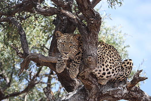 Leopard in a Tree by Gordon Donovan