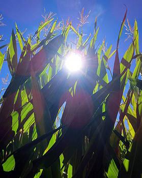 Light Through the Corn Maze by Brooke Finley