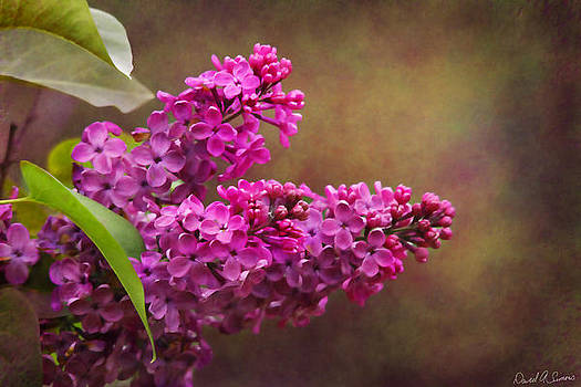 Lilacs by David Simons