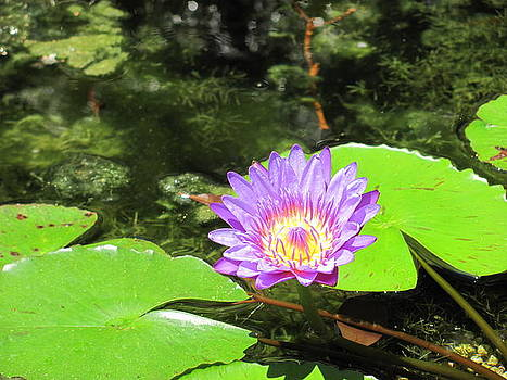 Lily in the Pond by Sandra Martin