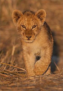 Lion Cub by George Schmahl