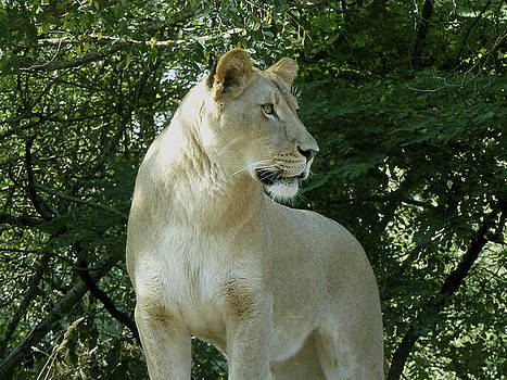 Lioness by wDm Gallery