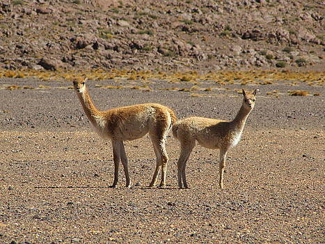 Llamas  by Elizabeth Hardie